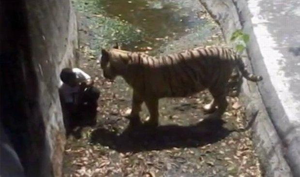 Tygrys rozszarpał meżczyznę w indyjskim zoo. Kadr z filmu: