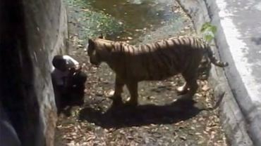 "Tygrys rozszarpał meżczyznę w indyjskim zoo. Kadr z filmu: ""Delhi : White Tiger Attacks 22yr old Student in Zoo and Mauled him to death"""