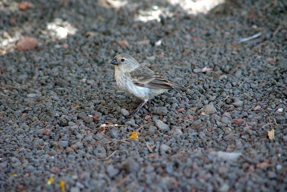 Zięby obserowane przez Darwina na wyspach Galapagos są doskonałym przykładem działania ewolucji naturalnej