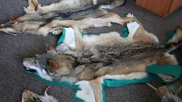 W domu jednego ze sprawców znaleziono broń oraz kolekcję trofeów myśliwskich rzadkich i chronionych zwierząt, w tym skóry wilków oraz wypchanego rysia