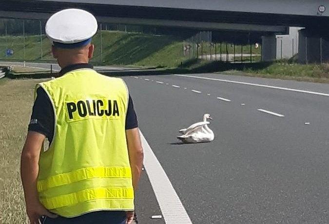 Łabędź blokujący przejazd na autostradzie