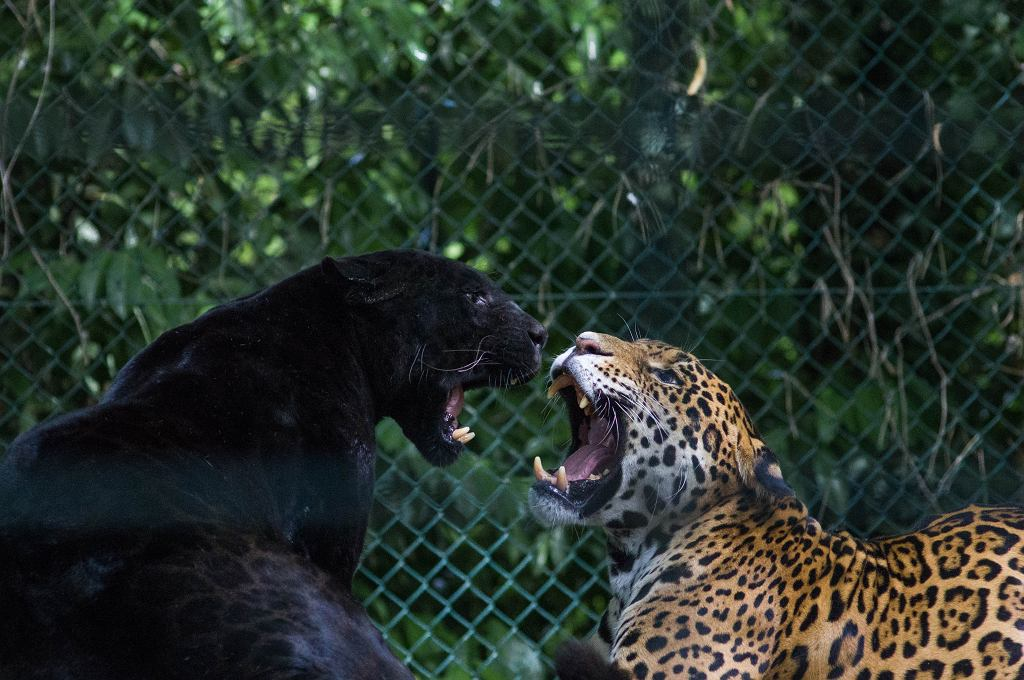 Czarny leopard (zdjęcie ilustracyjne)