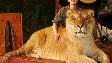 Proszę państwa, oto nie lew i nie tygrys. To LYGRYS