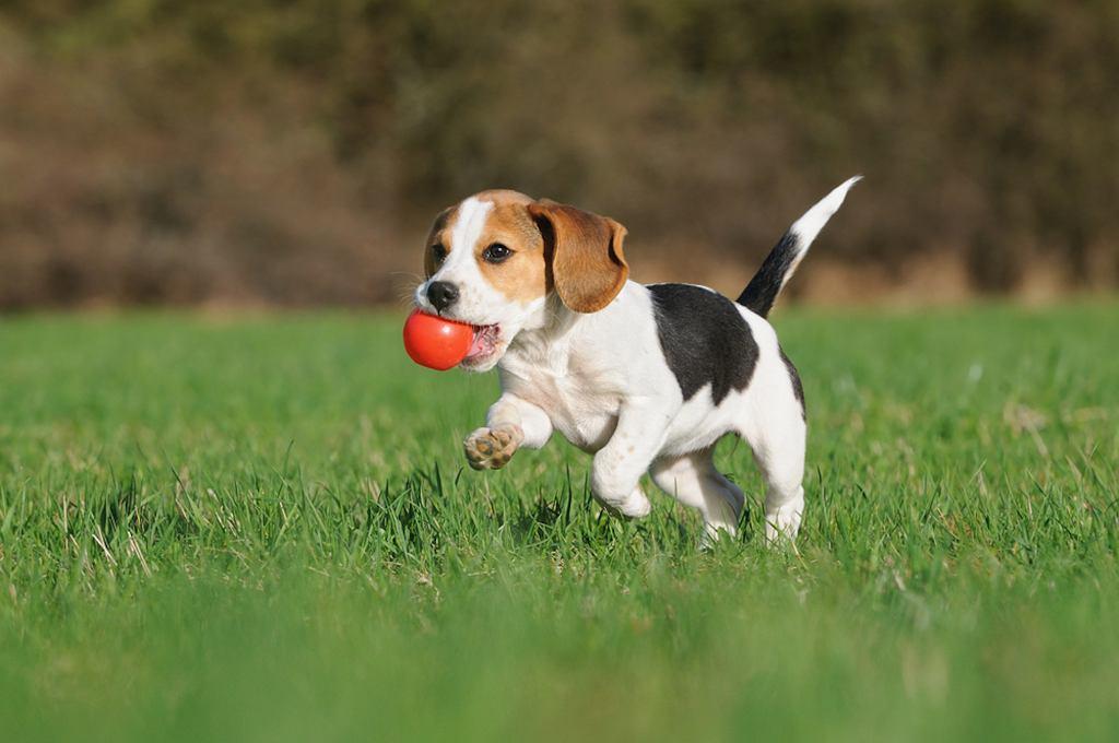 Бигль часто выбираются семьи с детьми, однако мы не можем забывать, что это охотничьи собаки и у них есть свои потребности