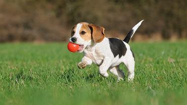 Beagle często wybierane są przez rodziny z dziećmi, nie możemy jednak zapominać, że to psy myśliwskie i mają swoje potrzeby