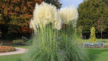 Trawa pampasowa to jedna z najpopularniejszych traw ozdobnych. Zdjęcie ilustracyjne
