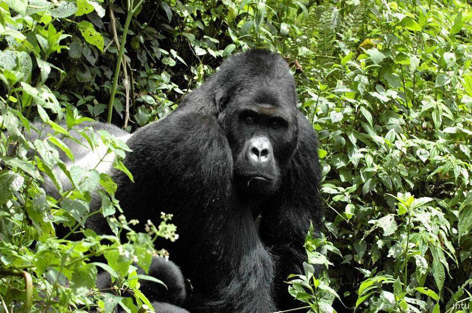 Samiec goryla wschodniego. W 2016 r. Międzynarodowa Unia Ochrony Przyrody (IUCN) uznała goryle wschodnie za krytycznie zagrożone wyginięciem