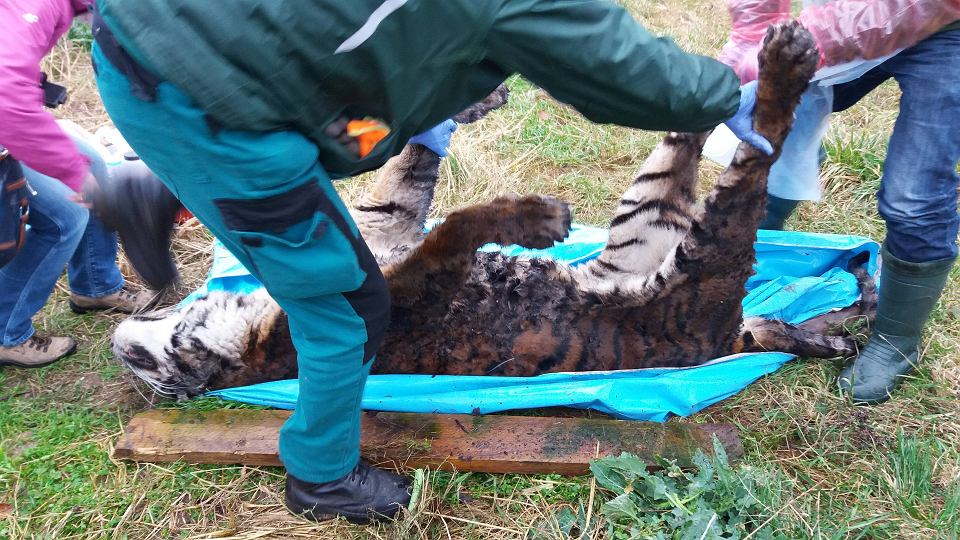 4914e36385ce15 Spór po śmierci tygrysa w hodowli pilnowanej przez policję. Władze Śremu:  Zwierzę nie było zagłodzone