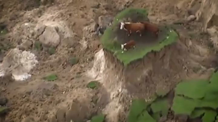Trzy uratowane krowy