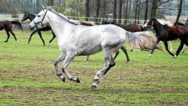 10.04.2016, Janów Podlaski, państwowa stadnina koni arabskich.