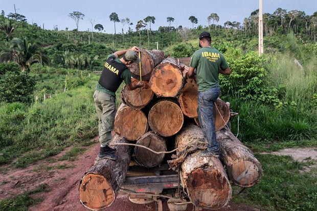 Lasy Amazonii zagrożone - na zdjęciu nielegalna wycinka