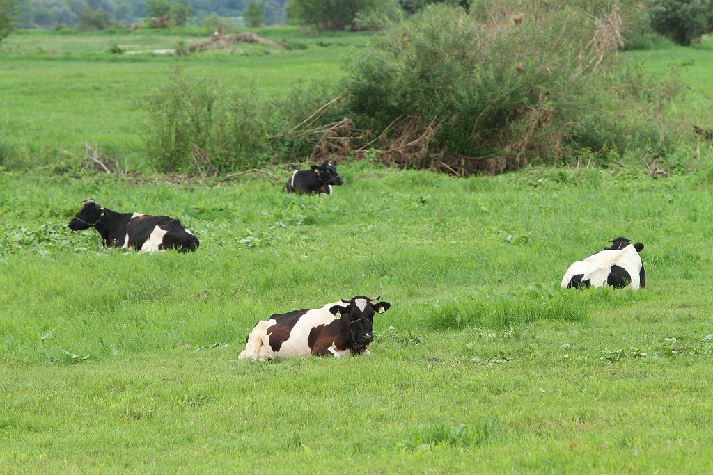 Przyszłość stado dzikich krów jest niepewna.