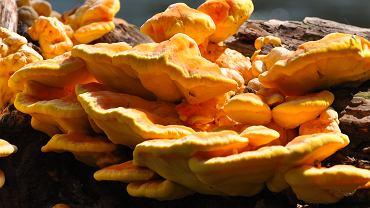 Pojawiły się żółciaki siarkowe zwane kurczakami z drzewa. Jak się z nimi obchodzić? Podpowiadamy