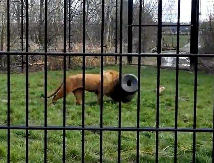 Lew z głową uwięzioną w beczce