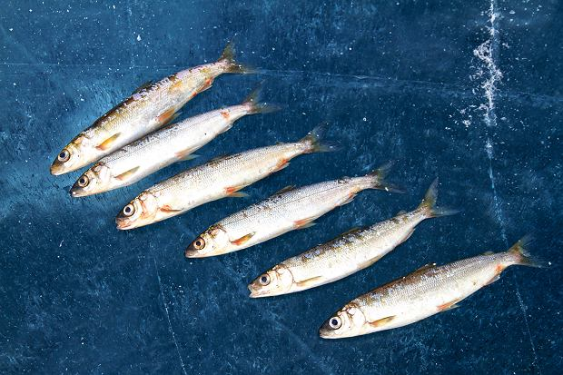 Omul - ryba występująca wyłącznie wBajkale.