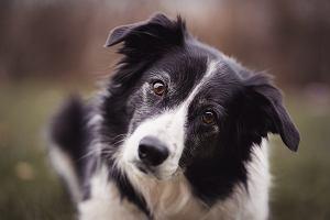 Border collie - wesoły pies z dużym temperamentem [Charakter, pielęgnacja, opinie]