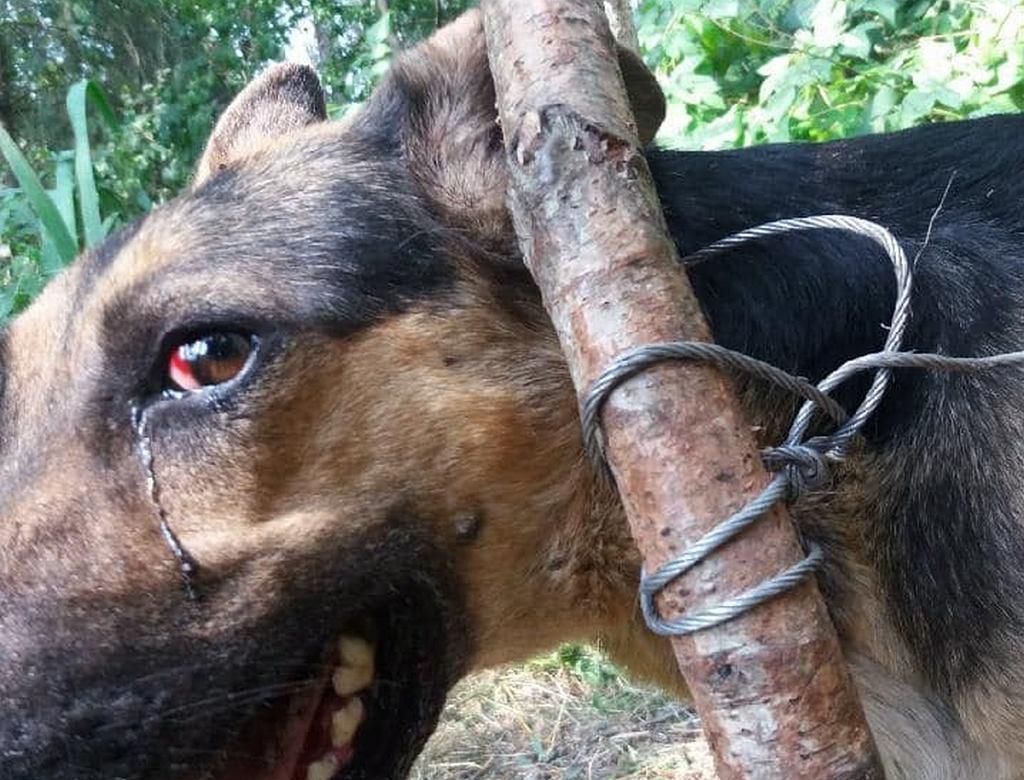 Porzucanie psów przywiązanych tak, że nie mogą odejść, niestety wciąż się zdarza. Zdjęcie ilustracyjne