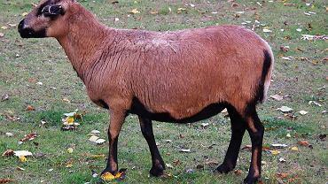 Owca kameruńska (zdjęcie ilustracyjne)
