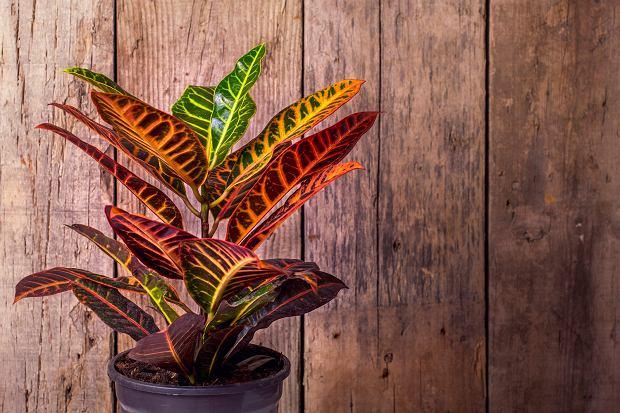 Kroton - roślina doniczkowa o kolorowych liściach