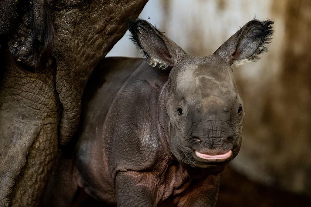 Wrocław. W zoo urodził się nosorożec indyjski. 'Nadzieja na przetrwanie gatunku'