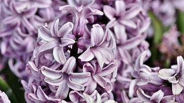 Hiacynt to popularna roślina doniczkowa. Jak ją uprawiać?