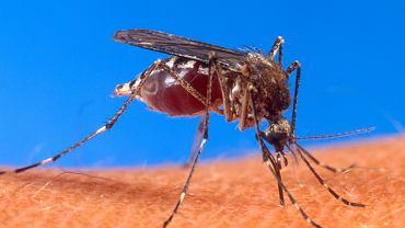 Aedes aegypti, czyli komar. Aby zarazić się takimi wirusami jak denga, chikungunya czy Zika, wystarczy jego ugryzienie