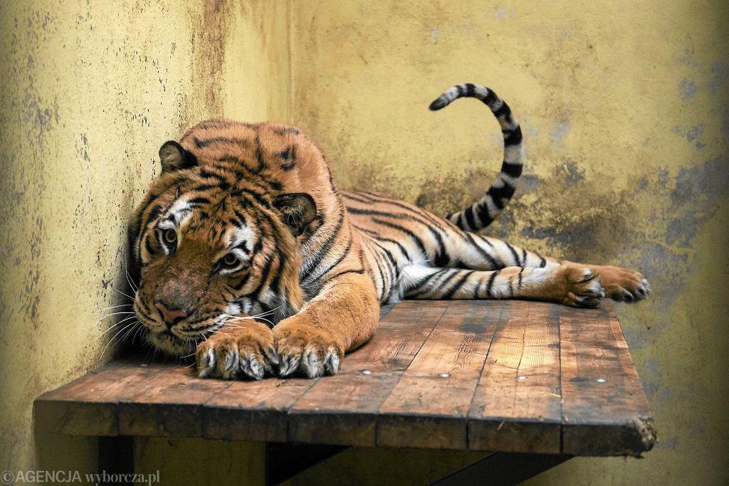 Tygrysy w zoo w Poznaniu. Samiec Kan