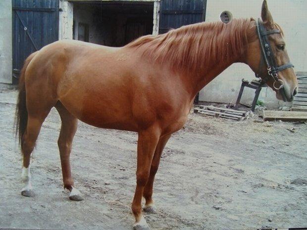 Z prywatnej stadniny w Sierakowie skradziono osiem cennych koni