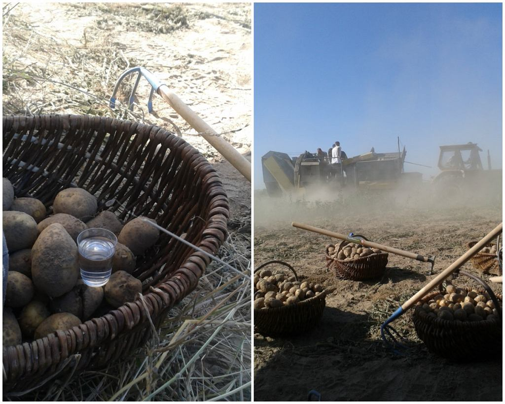 Ziemniaki prosto z pola trafiają do gorzelni