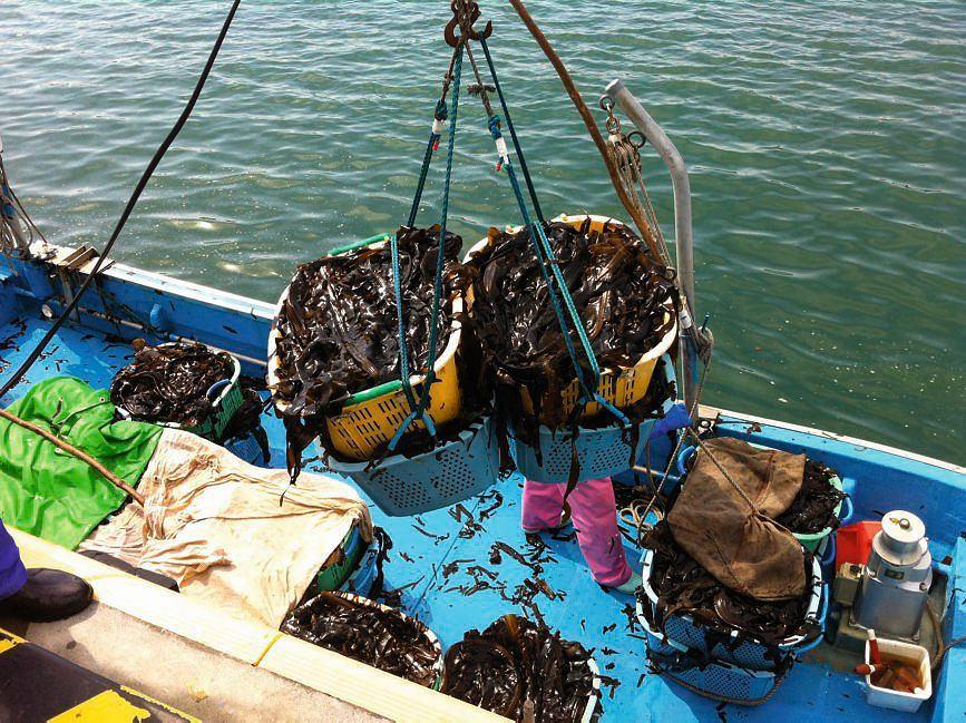 Kosze wypełnione zbiorami wyciąga się z łodzi żurawiem. Świeżo zebrane wodorosty mają brązowy kolor