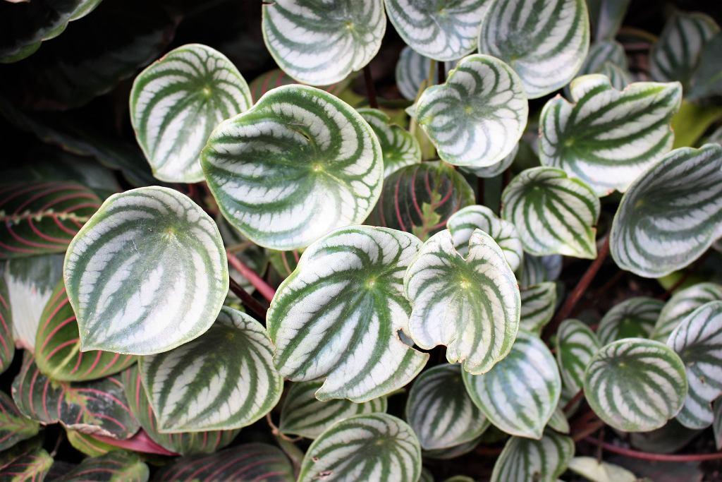 Peperomia to około 1000 gatunków roślin doniczkowych