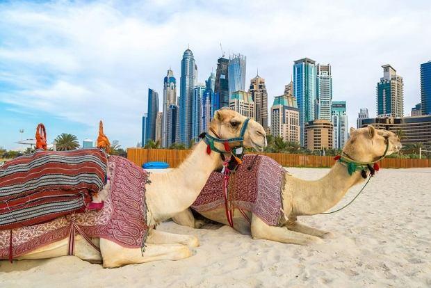 Wielbłądy w Dubaju