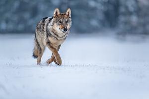 Zatrzymano podejrzanego o zastrzelenie wilka Kosego z Roztocza. Grozi mu kara do pięciu lat więzienia
