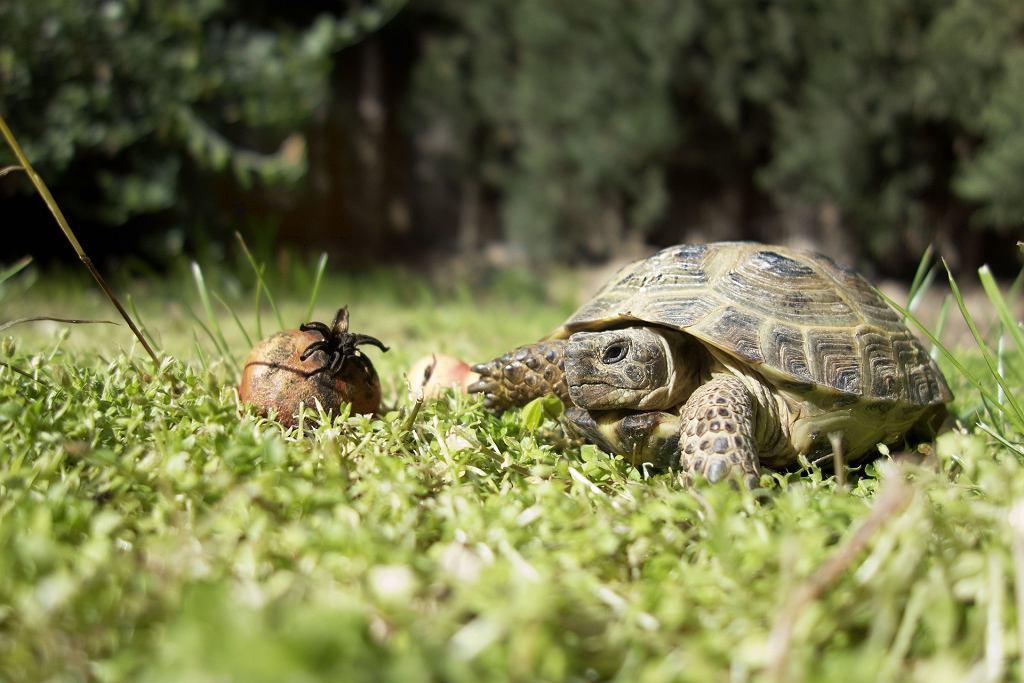 Żółw jest coraz chętniej wybieranym zwierzęciem do domowej hodowli,