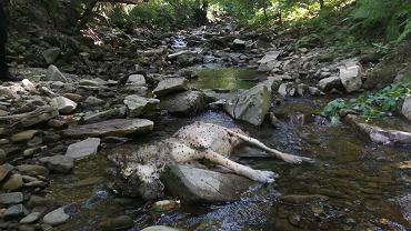 W korycie potoku w Brennej znaleziono martwego wilka. Został zastrzelony