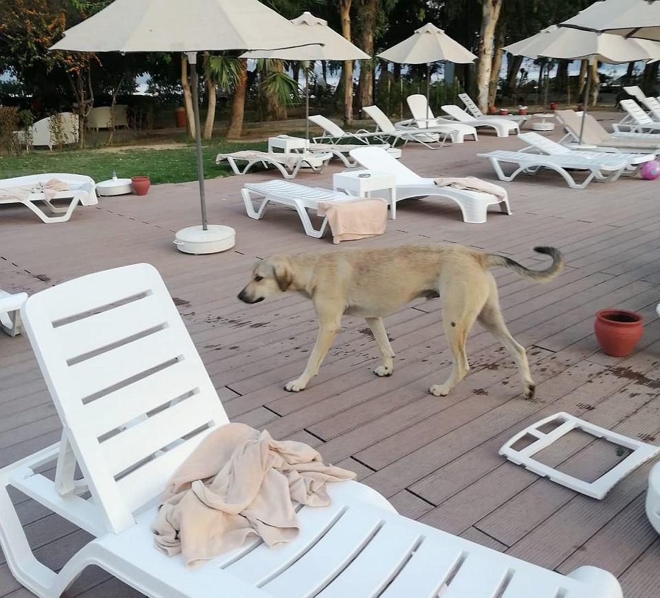 Bezpański pies na terenie pięciogwiazdkowego hotelu w Turcji