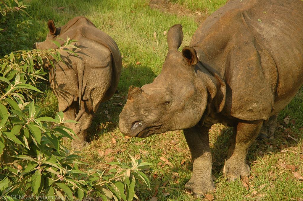 Nosorożec w Parku Narodowym Chitwan w Nepalu