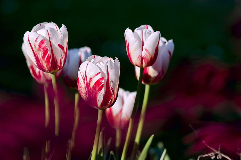 wiosna (zdjęcie ilustracyjne)