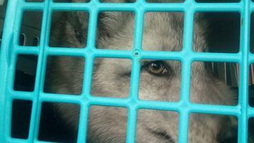 Interwencja Fundacji Centaurus na fermie zwierząt futerkowych pod Radomskiem. Uratowane lisy