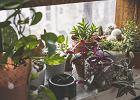 Rośliny trujące. Lepiej zrezygnuj z ich uprawy, jeśli w domu są dzieci
