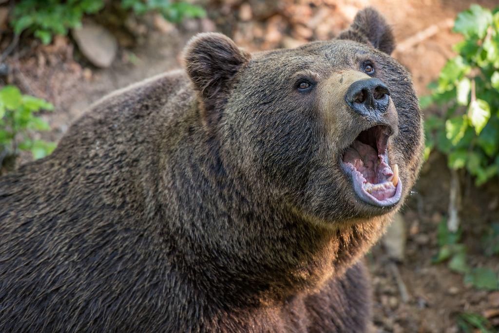 Strzelił do niedźwiedzia, zawierzę padło i przygniotło myśliwego