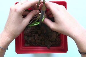 Rozmnażanie storczyka Dendrobium