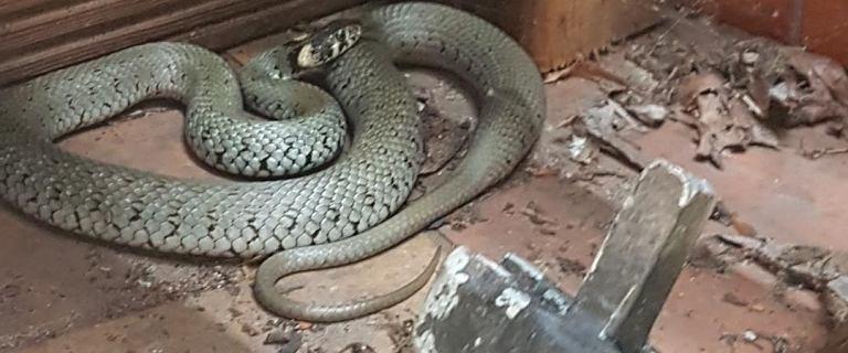 Kaszuby. 1,5-metrowy wąż pod tarasem jednego z domów