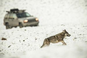 Rajd za watahą wilków, podpaski na szlaku i selfie z niedźwiedziem. Tak pseudoturyści panoszą się w Bieszczadach