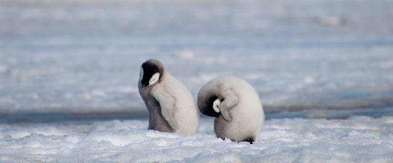 Lód nie wytrzymał ciężaru kolonii pingwinów cesarskich. Pisklęta utonęły