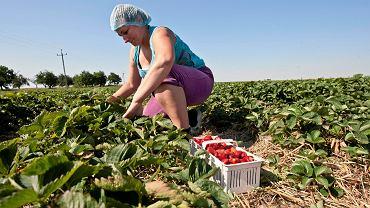 Praca sezonowa w szkółce truskawek