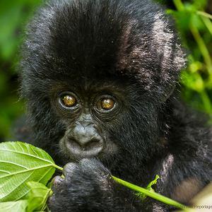 Wschodni goryl nizinny zagrożony wyginięciem