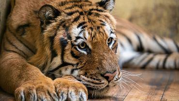 Tygrysy uratowane z polsko-białoruskiej granicy z ZOO w Poznaniu.
