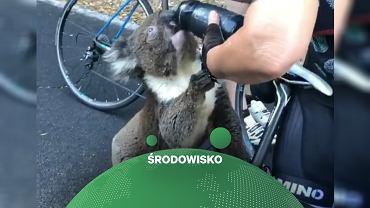 Spragniony koala wypił wodę z bidonu rowerzystki