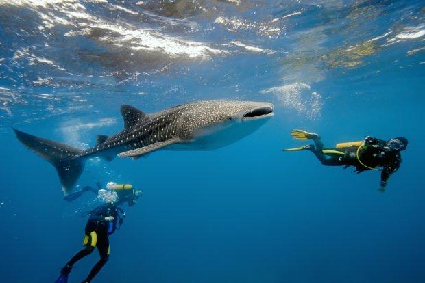 Nurkowanie z rekinem wielorybim/ Fot. Shutterstock
